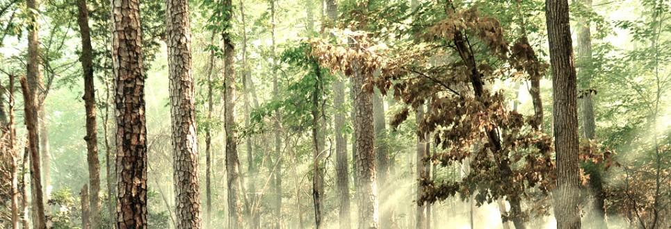 Pinus-echinata-965x330