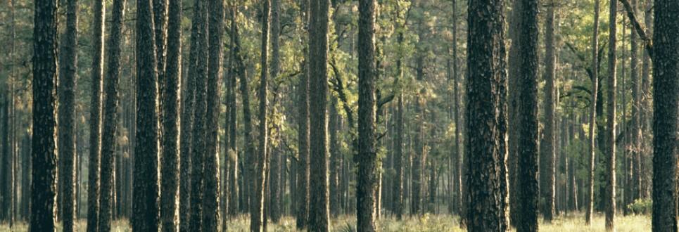 Pinus_palustris_Ocala_USDAFS-965x330
