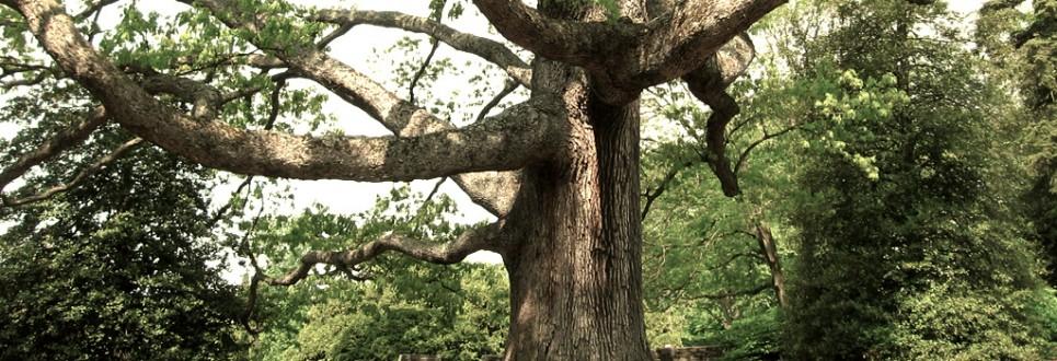 white-oak-965x330